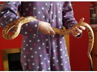 Corn snake 5 years old