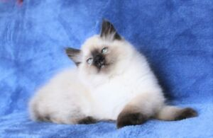 Seal point Ragdoll kittens are ready for their new homes..