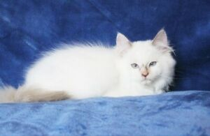 WHITE RAGDOLL KITTENS