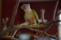 Conure Canelle/Pineapple