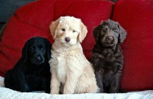 Beautiful Labradoodle puppies. Similar to Golden doodle.