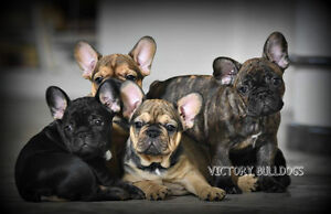 Top Quality CKC Reg'd French Bulldog Puppies Blue and Standards London Ontario image 6