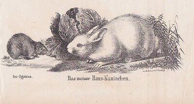 Hauskaninchen Oryctolagus cuniculus Hasen LITHOGRAPHIE von 1831 Brüggemann