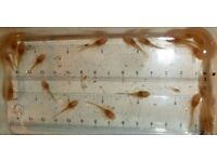Young albino longfins, tropical fish