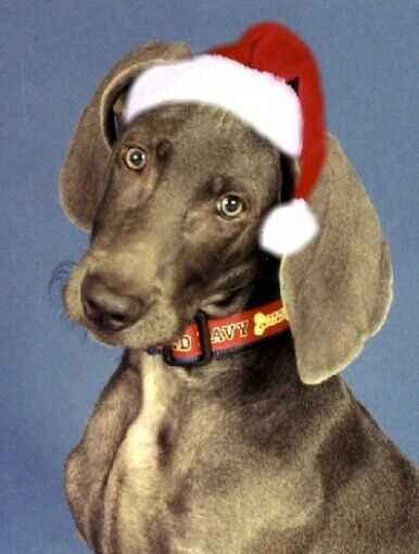 Pet Christmas Cards:Dog Weimaraner in Santa Hat
