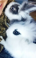7 month old Lionhead rabbit and new cage