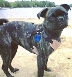 KLAWS: Lost  near Rama Boston Terrier Pug Mix female LUCY