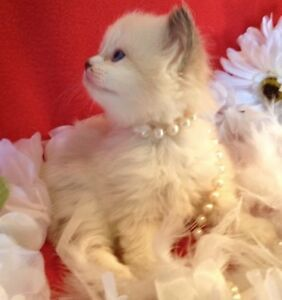 Lovely male Ragdoll kitten