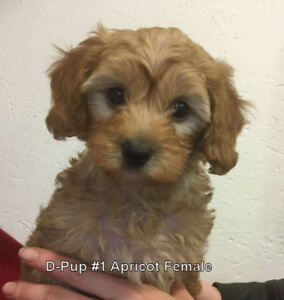 Yorkie Poo Adopt Dogs Puppies Locally In Ontario Kijiji