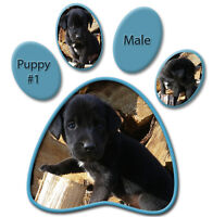 BLACK & CHOCOLATE LABS FOR SALE!!!
