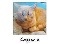 Missing cat - copper. Last seen middlehurst ave weaverham
