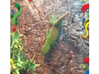 Pair day geckos