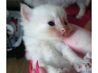 ~~~reduced price...1Gorgeous Ragdoll cross kitten~~~
