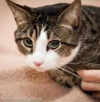 "Adult Male Cat - Tabby - Brown: ""Tiger"""
