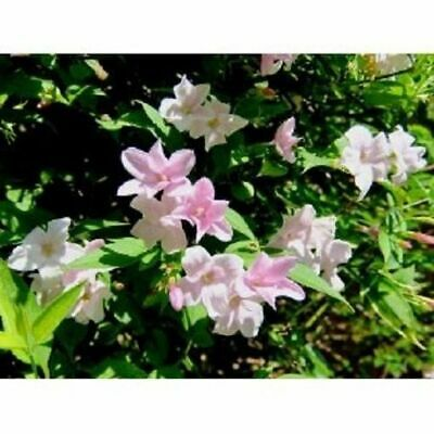 Jasmine Stephanense - Fragrant - Approx 10-14 Inch