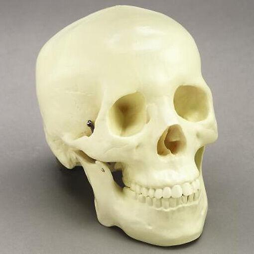 Life-Size 2 piece Human Skull Model, NEW Skulls
