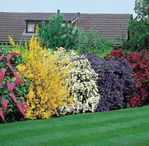 5X MIXED ESTABLISHED GARDEN SHRUBS - HIGH QUALITY POTTED HARDY GARDEN PLANTS