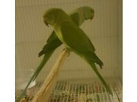 HIGH & STRONG QUALITY Pair Of Indian Ringneck Parrots [£180 Pair] For Sale