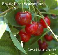 COLD HARDY CHERRY PLANTS FOR SALE (CARMINE JEWEL)