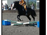 Riding school mare for sale