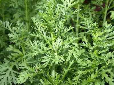 Shungiku Edible Chrysanthemum Asian Greens Choy Suy 1000  Seeds Tongho C I C C
