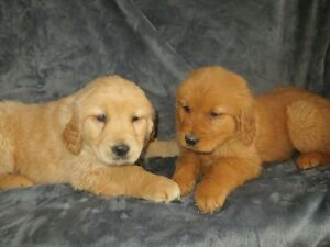 GOLDEN RETRIEVER PUPPIES (Males)