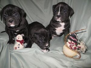Great Dane x Puppies they are Ready to go Feb 6th