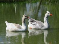 2 geese and a gosling looking for a good pet home