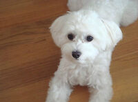 Maltichon (Maltese-Bichon Cross) puppy