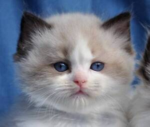 Looking for MALE Ragdoll kitten Cranbourne West Casey Area Preview