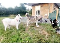 Beautiful and adorable Siberian Husky puppies for sale