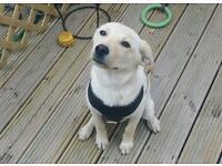 Labrador for sale