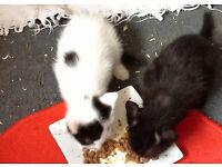 Adorable black kitten for sale