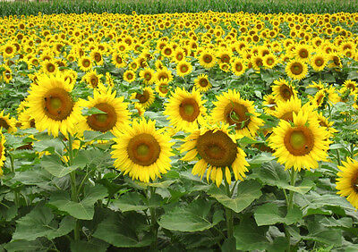 Black oil Sunflower 50 seeds * Great bird food * Non GMO* CombSH J31