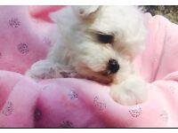Tiny kc registered Maltese pups for sale
