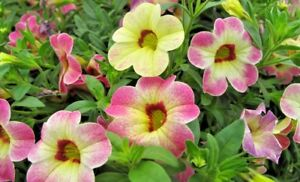 6 Calibrachoa Chameleon Pink Passion Cutting raised basket Plug Plants