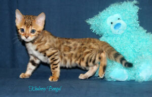 bengal brown spotted female kitten