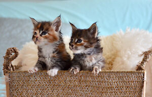 Four Female Maine Coon Kittens