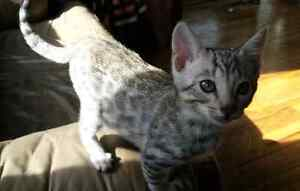 BENGAL KITTEN FOR SALE *REDUCED""