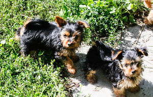 Yorkie (yorkshire terrier) Male, Healthy & Ready to Go