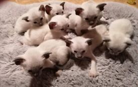 ALL Kittens Booked -Siamese kittens pure bread, no papers N Ireland