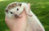 Female Hedghog