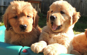 Beautiful Purebred Golden Retrievers