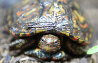Central American Ornate Wood turtle tortue