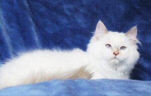 Beautiful Female Ragdoll Kittens For Good Homes