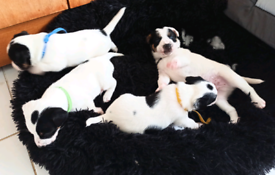 Jack Russell puppies - 4 boys for sale