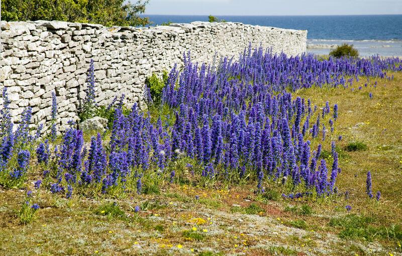 35 Seeds Suffolk Herbs Viper/'s Bugloss
