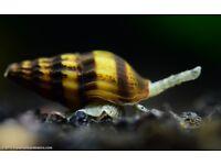 Assassin snails £1 each