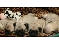 Kc registered pug pups