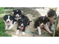 Lovely Border Collie Puppies- Kilkeel, Co.Down